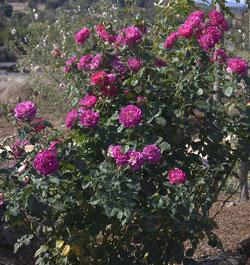 Roses Amp Roses Amp Roses